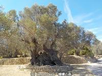 ヒオス島の古代オリーブの木  - 日刊ギリシャ檸檬の森 古代都市を行くタイムトラベラー