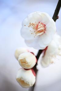 北野天満宮の梅その8 - 春の風