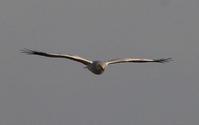 ハイイロチュウヒの飛翔(2羽絡み) - 私の鳥撮り散歩
