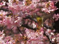 河津桜と - 瞳の記憶