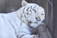 2017.3.10 宇都宮動物園☆ホワイトタイガーのアース王子【White tiger】 - 青空に浮かぶ月を眺めながら