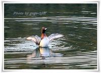 アカハジロは、越冬のために、まれに飛来する冬鳥 - 野鳥つれづれ記