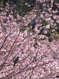河津桜とヒヨドリ - この道は風なり