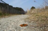 越冬明けのキタテハ(千葉県松戸市、20170305) - Butterfly & Dragonfly