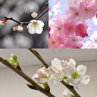 梅に桃、そして桜。 - ライブ インテリジェンス アカデミー(LIA)