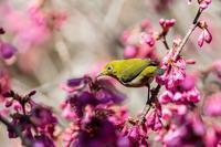 寒緋桜とメジロ - あだっちゃんの花鳥風月