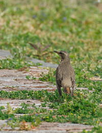 石垣島で野鳥撮影してきました。今回は、、、ハチジョウツグミです。 - takiのカメラ散歩~☆