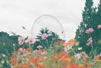 観覧車と秋桜 - photomo