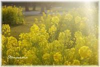 菜の花色 & English Lesson 3.10 - 日々楽しく ♪mon bonheur