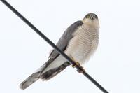 可愛い猛禽 ハイタカ - 今日の鳥さんⅡ