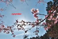 サクラ花の懸け橋 - ジージーライダーの自然彩彩