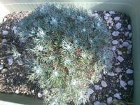ローダンセマムの花芽 - うちの庭の備忘録 green's garden
