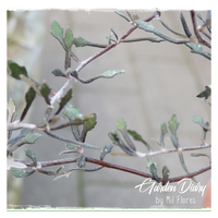 Corokia cotoneaster - Garden Diary