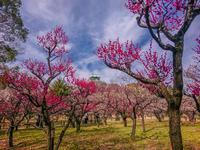 大阪城公園の梅林 - ときたま日記 とよおか たじま ひょうご