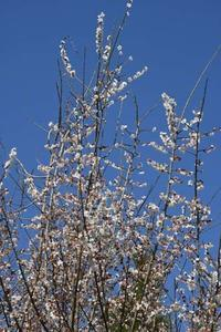17年 春の自然(13)…今盛りなり - ふぉっしるもしてみむとてするなり