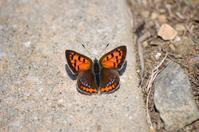 ベニシジミ 3月11日 - 超蝶
