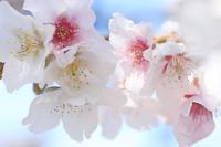 日本に一つだけの帯桜 ②♪ - happy-cafe*vol.2