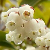 #木の花『馬酔木』 Pieris japonica subsp. japonica - 自然感察 *Nature * feeling*