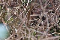今年は厳しいキクイタダキ - 野鳥写真日記 自分用アーカイブズ