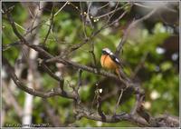 梅園のジョビと思いのまま - 野鳥の素顔 <野鳥と・・・他、日々の出来事>
