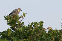 石垣島で野鳥撮影してきました。今回は、ギンムクドリです。 - takiのカメラ散歩~☆