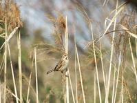 ★冬鳥を観察するなら今! - 葛西臨海公園・鳥類園Ⅱ