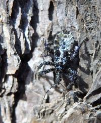 ヤニサシガメの幼虫 Velinus nodipes - 写ればおっけー。コンデジで虫写真