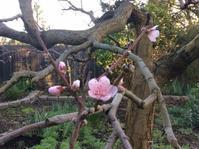 庭の花とライドーキングスマウンテン - お転婆シニアのガーデニング、旅、ロードバイク、たまの料理