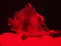 サンシャイン水族館~「ゾクゾク深海生物」その2 - 続々・動物園ありマス。