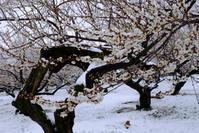 雪景色と梅の花の美しい競演 - dezire_photo & art