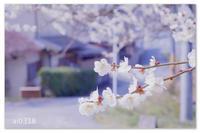 ご近所の梅。 - Yuruyuru Photograph
