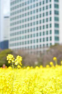 高層ビル群と菜の花 - そよ風のおもむくままに