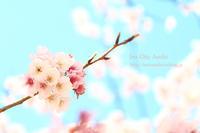 桜の小径 - 色音あそび