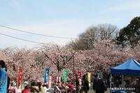 密蔵院の安行桜は満開状態でした\(◎o◎)/ - 自然のキャンバス