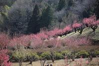 桃の花見 - 木洩れ日のなかで