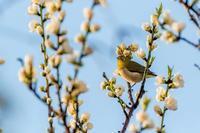 桃の花とメジロ - あだっちゃんの花鳥風月