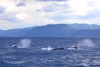 クジラチャーター 奄美南部 - 奄美大島 ダイビングライフ    ☆アクアダイブコホロ☆