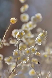 夢見の梅 - お花びより