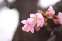 宇都宮の河津桜2 - モノクロポートレート写真館