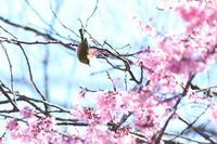オカメ桜 - PhotoWalker*