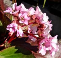 小さな花と大きな葉,ヒマラヤユキノシタ - 楽餓鬼