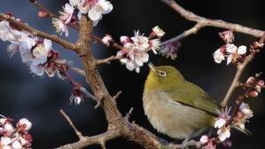 寝不足の朝の梅の花 - 鳥撮り取り鶏トリSTORY
