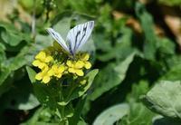 春の野辺のチョウたち - 旅のかほり