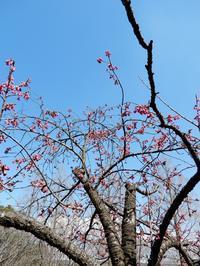 「寒緋桜」・・・ - 【出逢いの花々】
