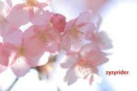 ほんのり桜色 - ジージーライダーの自然彩彩