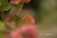 春の紅葉、ゼラニウム。 - Season of petal
