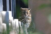 1月のツシマヤマネコ~お昼寝ノリちゃん - 続々・動物園ありマス。
