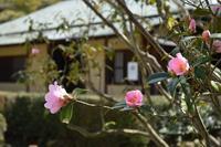 ◆花情報◆有楽椿2 ピンクの椿と日本庭園 - 名鉄犬山ホテル情報