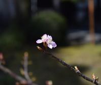 ◆花情報◆ 河津桜が咲き始めました! - 名鉄犬山ホテル情報