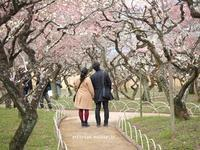 北野天満宮の春爛漫♫ - アリスのトリップ